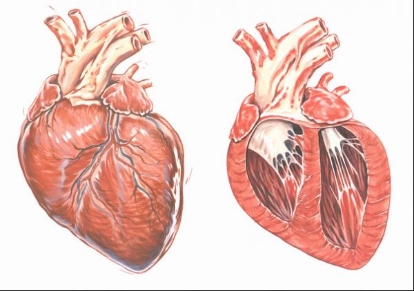 Normaal hart